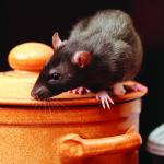 rat in kitchen,focus on a head.